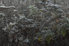 结冰在植物分支的早晨领域的 免版税库存图片