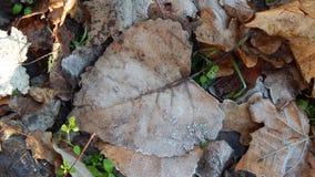 结冰的下落的叶子 免版税图库摄影