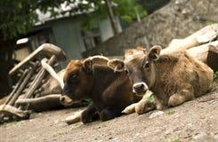 结合一点calfs在村庄 免版税图库摄影