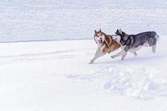 结合与在河的积雪的岸跑的疯狂的滑稽的面孔的狗西伯利亚爱斯基摩人 逗人喜爱的狗在雪使用 图库摄影