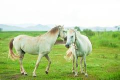 结合修饰和使用在rai的草原的白马 库存图片