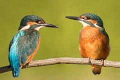 结合在自然的翠鸟 库存图片
