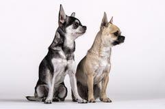 结合奇瓦瓦狗,男性和女性看往边 免版税库存照片
