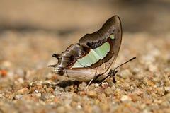结束宏指令共同的Nawab,吮矿物的蝴蝶从 免版税库存图片