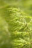 结束木贼属植物马尾sylvaticum  库存图片
