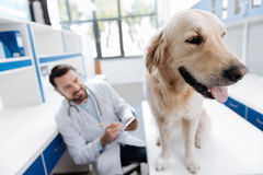 结束狗在桌上的那身分安静 免版税图库摄影