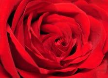 结束玫瑰色  库存照片