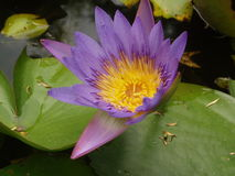 结束莲花紫色  库存照片