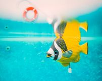 结束钟表机械玩具在游泳池的鱼水中 免版税库存照片