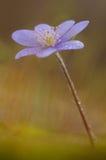 结束hepatica nobilis  免版税库存照片