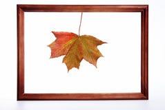 结构叶子槭树 免版税库存照片
