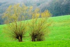 结构树二杨柳 库存照片