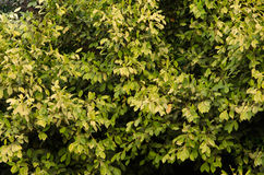 结构树叶子  图库摄影
