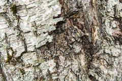 结构树吠声 参差不齐的表面 青苔和地衣 免版税库存图片