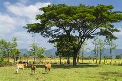 结构树和母牛。 老挝。 免版税库存照片