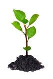 结构树年轻人 免版税库存图片