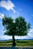 结构树杨柳 库存图片