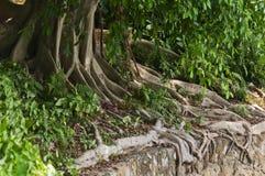 结构树根 图库摄影