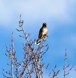 结构树的椋鸟科 库存照片