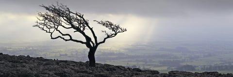 结构树约克夏 库存图片