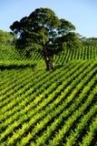 结构树葡萄园 库存图片