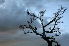 结构树- Tarangire国家公园。 坦桑尼亚,非洲 免版税库存照片