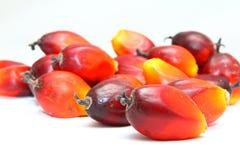 结果实成熟的油棕榈树 免版税库存照片
