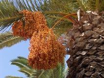 结果实棕榈树 免版税图库摄影