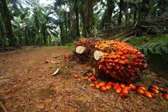 结果实油棕榈树种植园 免版税库存照片
