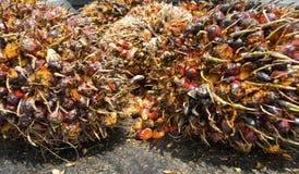 结果实油棕榈树 图库摄影