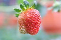 结果实草莓 免版税库存图片