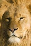 结疤的狮子 免版税库存照片