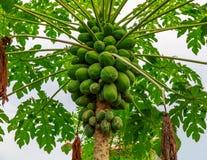 结许多绿色果实的番木瓜 免版税库存图片
