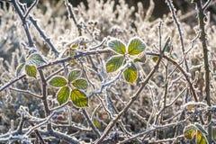 结霜的冬天刺灌木 图库摄影