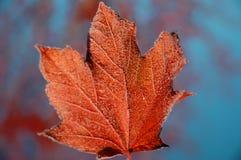 结霜的叶子槭树 库存图片