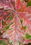 结霜的叶子橡木 免版税库存照片