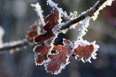 结霜的叶子橡木 库存图片