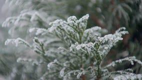 结霜的常青树在冬日在公园,特写镜头视图 股票录像
