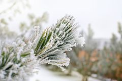 结霜的杉木分支 库存图片