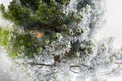 结霜的杉木 免版税库存照片