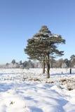 结霜的杉树 免版税库存图片