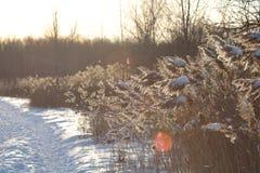 结霜的植物在一个冬天太阳下 免版税图库摄影