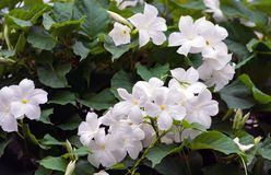 绕植物,异乎寻常的灌木有纯净的白色美丽的花的 免版税库存照片
