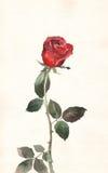 绘的红色玫瑰色水彩 免版税图库摄影