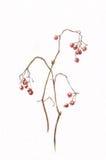 绘荚莲属的植物水彩的浆果 免版税库存图片
