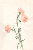 绘水彩的康乃馨 免版税库存图片