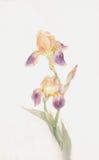 绘紫色水彩黄色的花虹膜 免版税库存照片