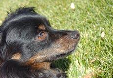 给予密切注意对要求的狗 库存照片
