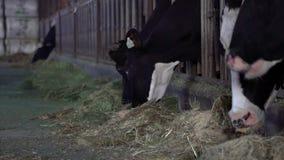 给在粒子的农夫干食物母牛在槽枥 家畜谷仓 股票视频