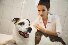 给射入的兽医在狩医诊所的一条狗 库存图片